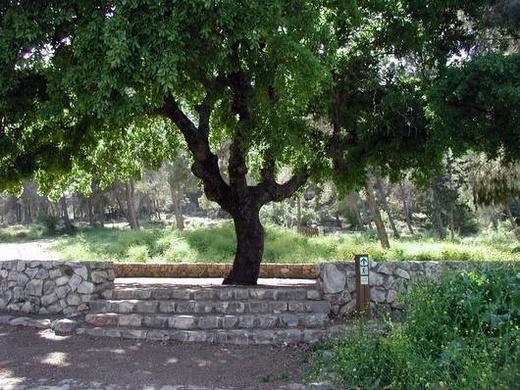 יער אלוני בית קשת. עץ אלון קשיש