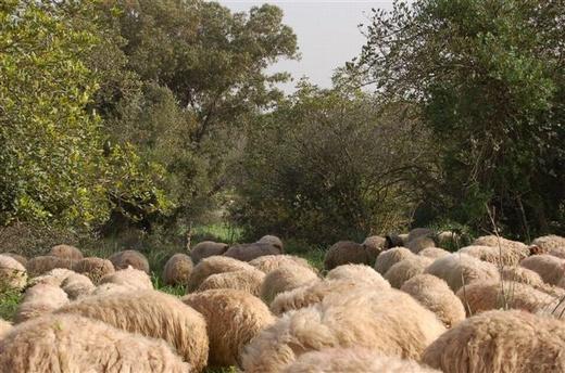 כבשים בשולי יער חרובית