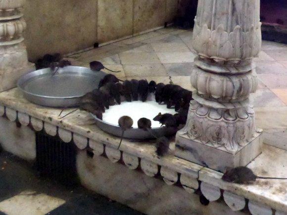 מקדש קרני מטה עכברושים