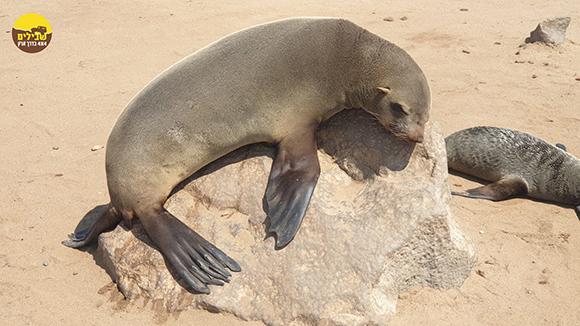 דוב ים כלב ים אריה ים נמיביה