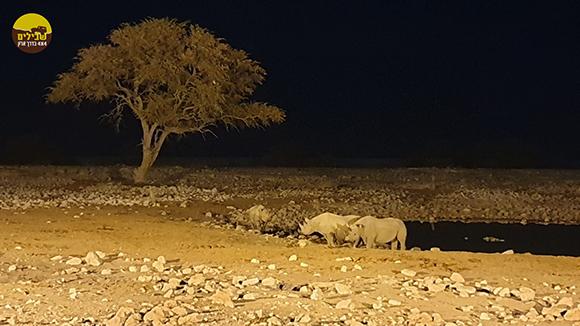 קרנפים שמורת אטושה נמיביה