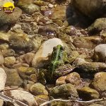 צפרדע חיה