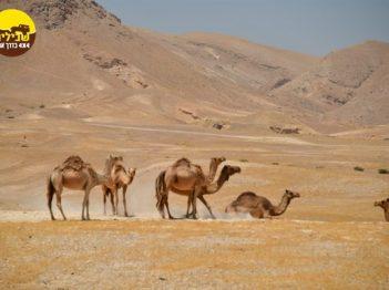 גמלים במדבר יהודה