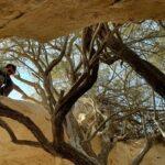 חלמונית בהר הנגב עץ