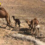בכר גמלים